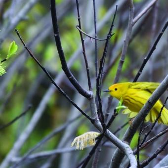 Yellow Warbler Landing